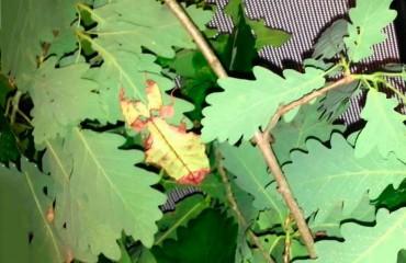 Гигантская листовидка