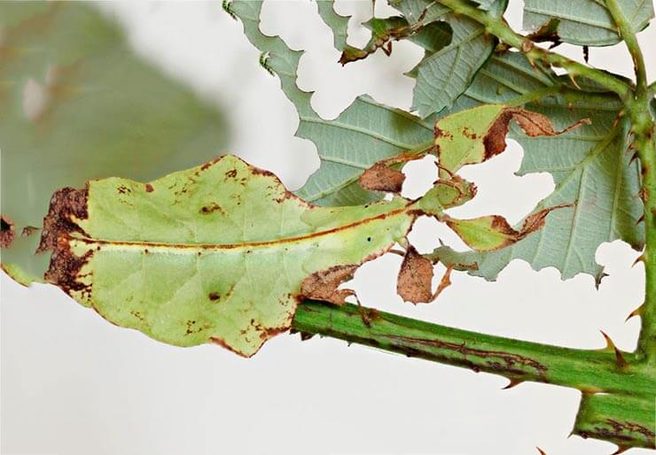 Фото гигантской листовидки
