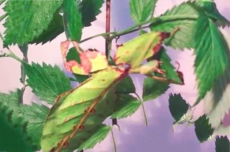 Гигантская листовидка фото