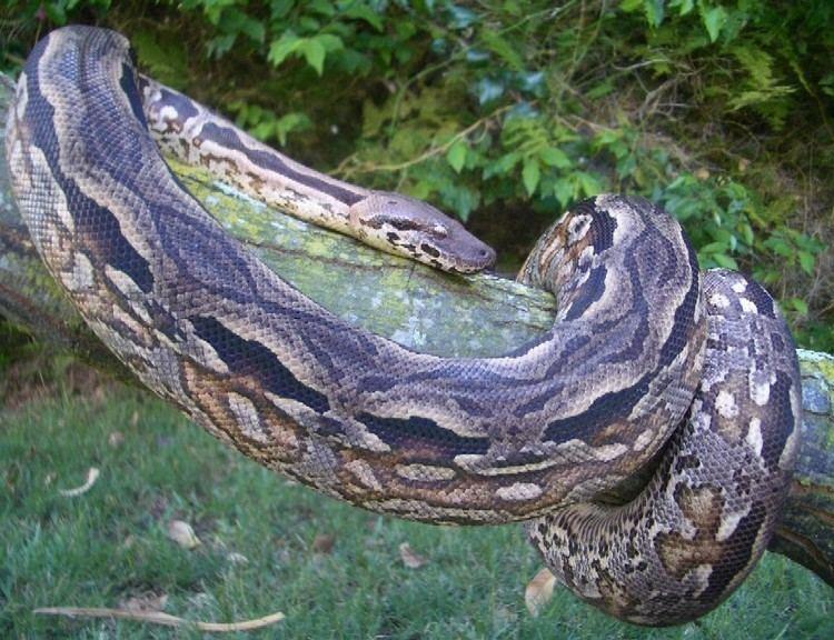 Acrantophis madagascariensis фото