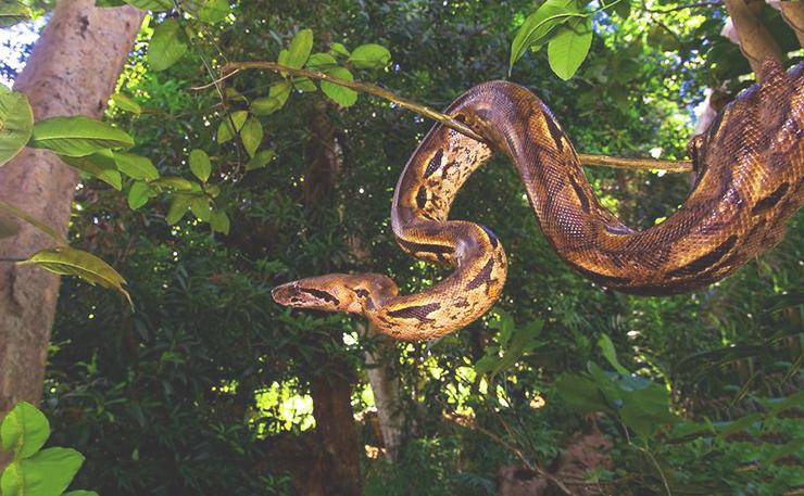 Фото мадагаскарского удава