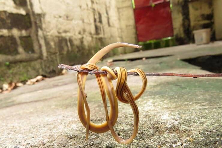 Молотоголовый червь фото