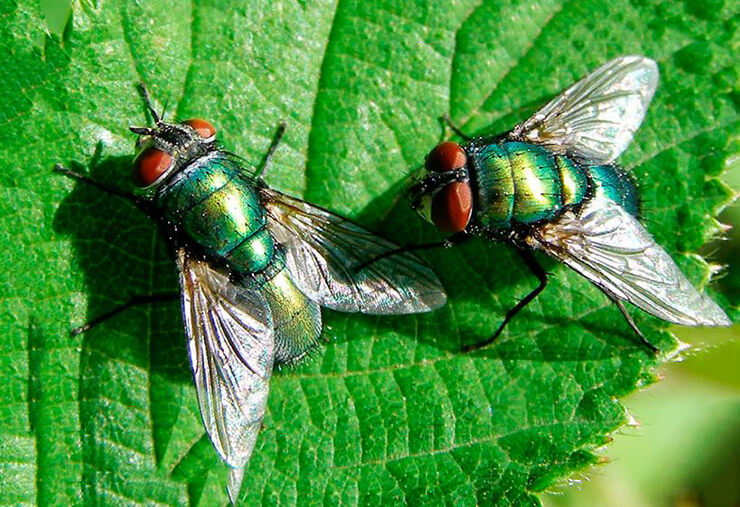 падальница зеленая обыкновенная фото