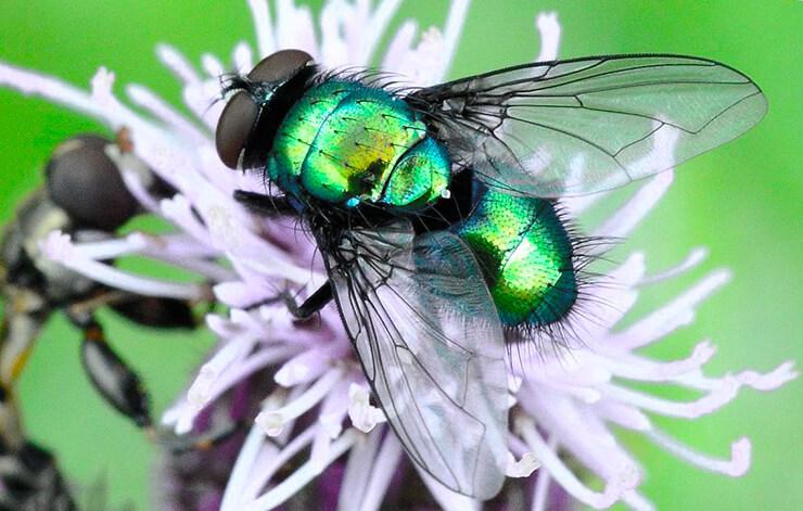 Муха падальная зеленая фото