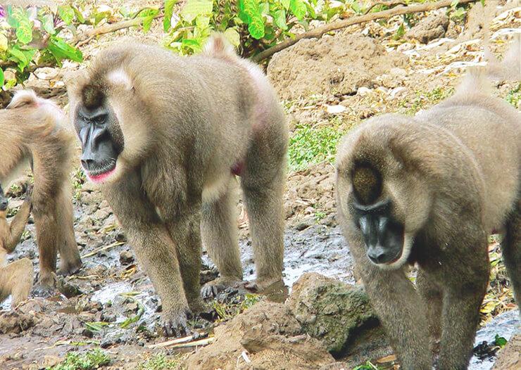 Картинка с обезьяной дрил
