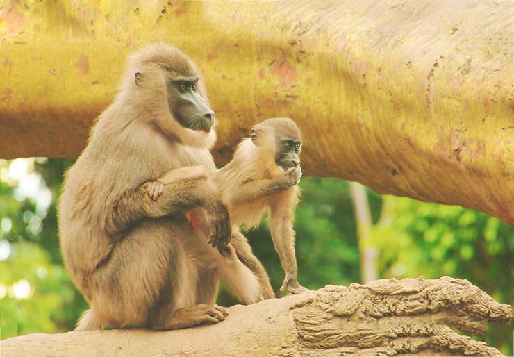 Фото обезьяны дрил