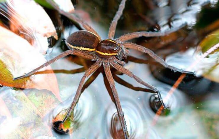 большой сплавной паук фото