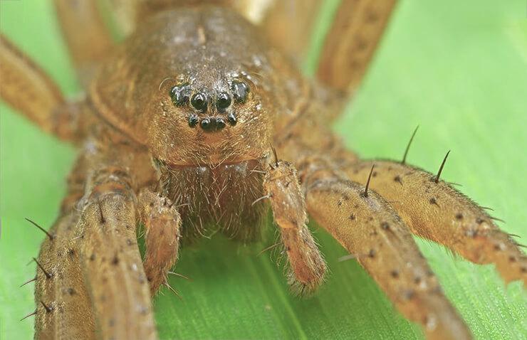 Фото большого сплавного паука