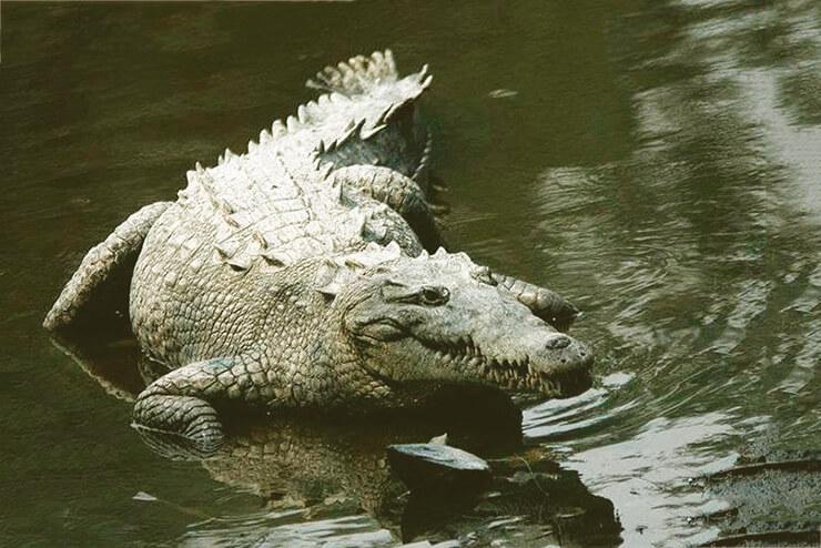 Картинка с Острорылым или американским крокодилом