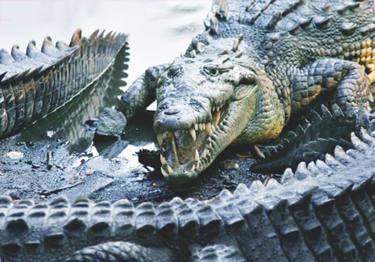 Фото острорылого или американского крокодила