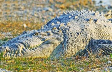 Острорылый или американский крокодил