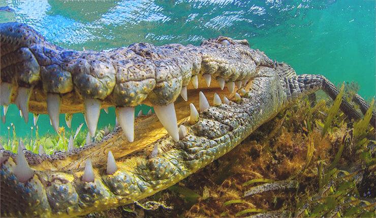 фото Crocodylus acutus