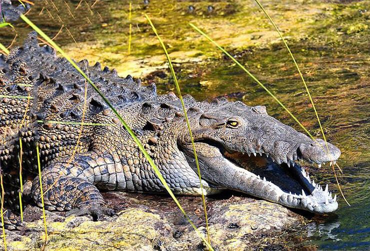 Фото американского острорылого крокодила