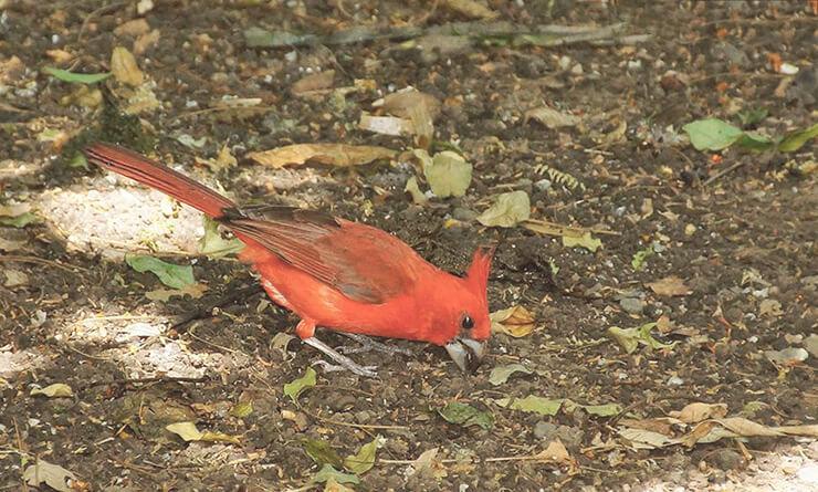 Cardinalis phoeniceus фото