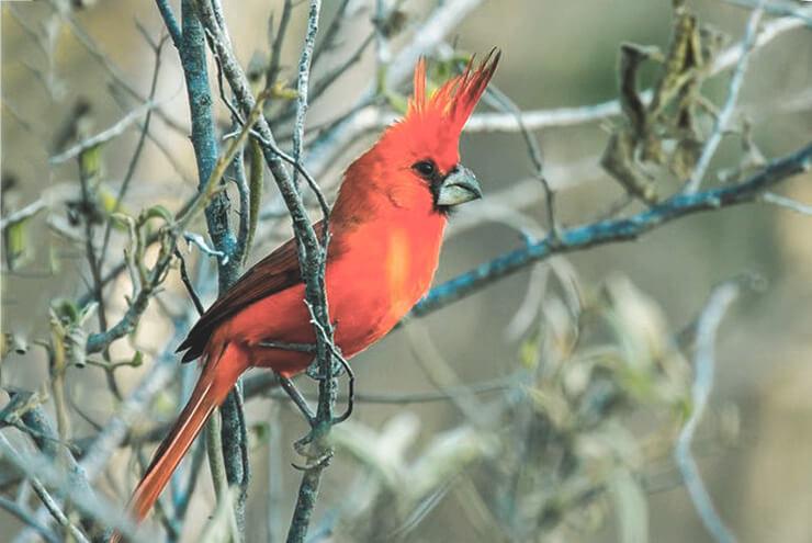 Пурпурный кардинал фото