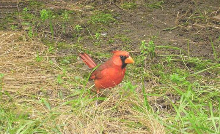 Попугайный кардинал фото