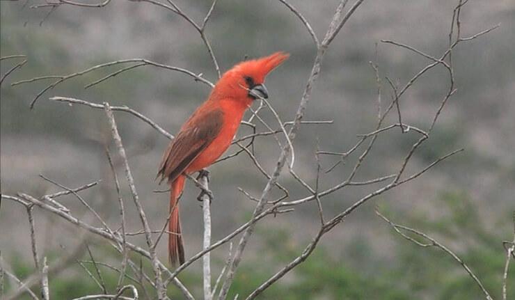 Картинка с Попугайный пурпурный кардинал