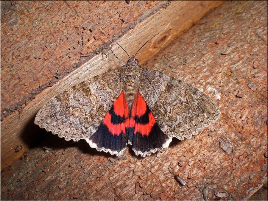 Картинка с бабочкой ленточницей тополевой