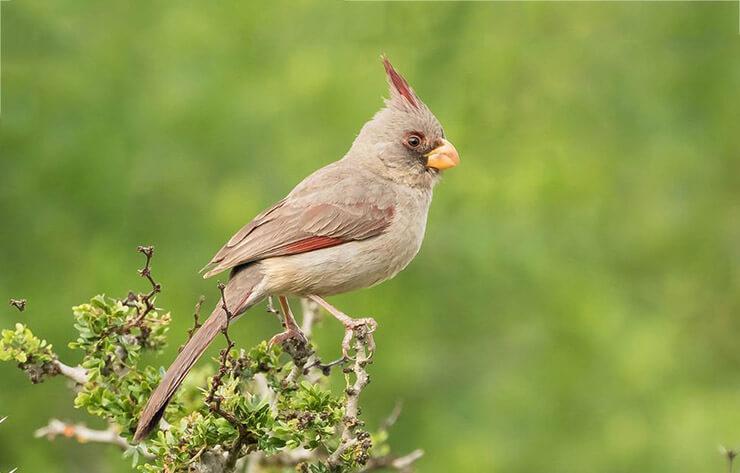 Фото пустынного кардинала