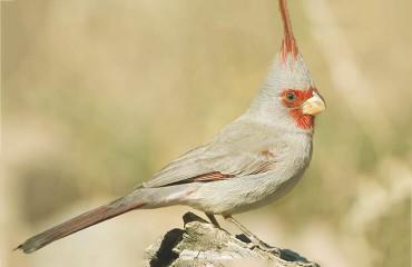 Пустынный кардинал