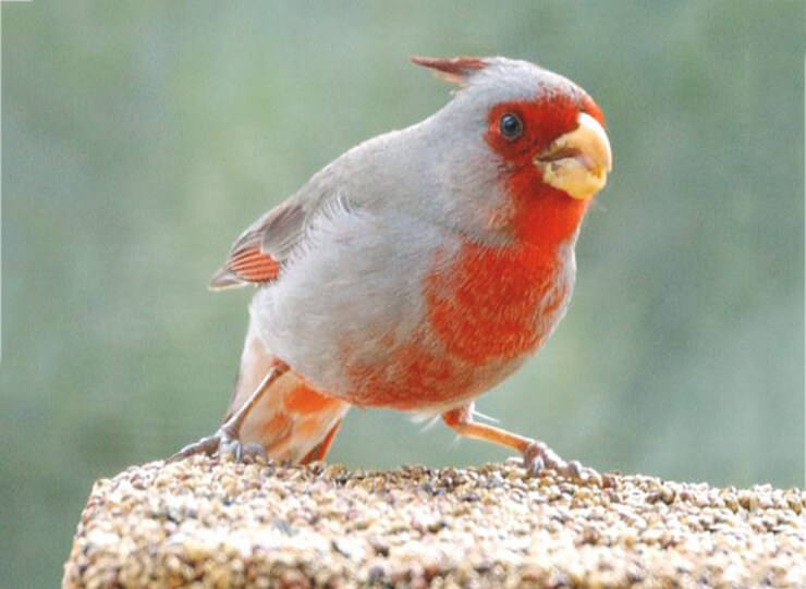 Фото Cardinalis sinuatus