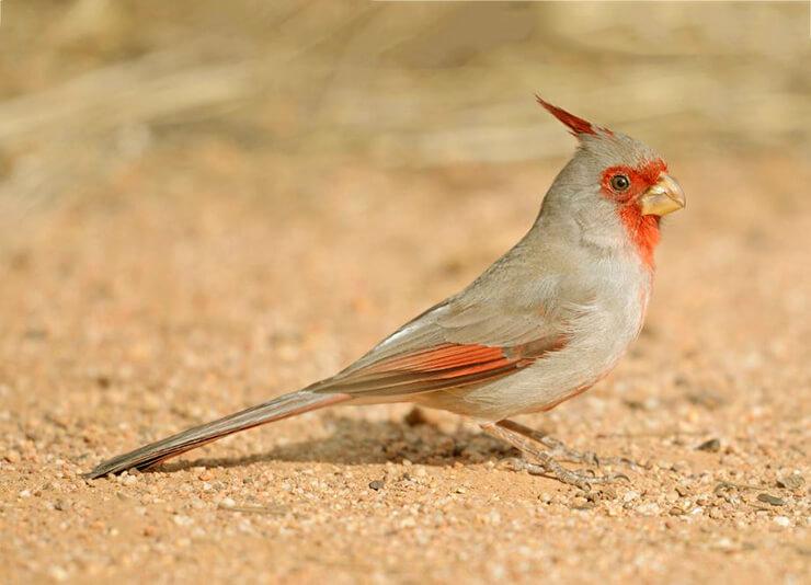 Картинка с пустынным кардиналом