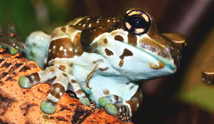 Фото жабовидной квакши арлекина