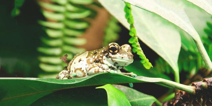 Картинка с жабовидной квакшей арлекином
