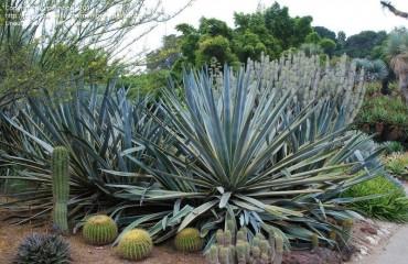 Как вырастить голубую агаву