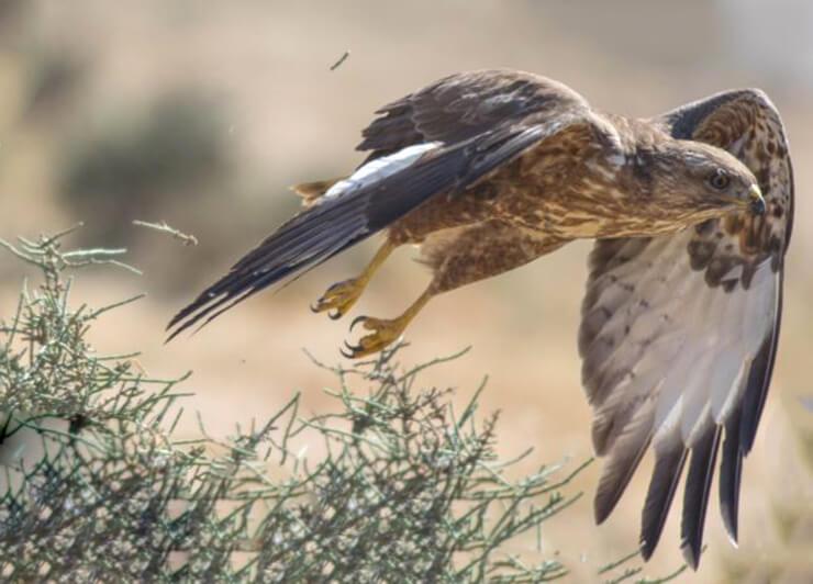 Фото канюка обыкновенного