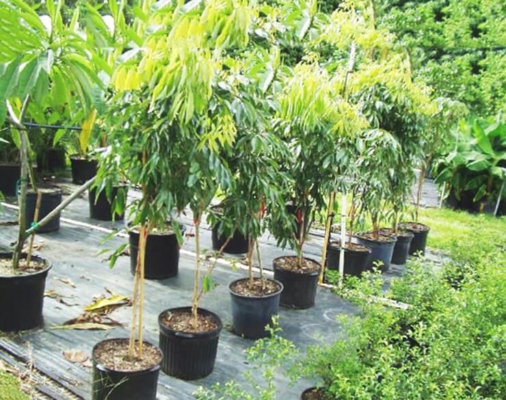 Китайские личи дерево