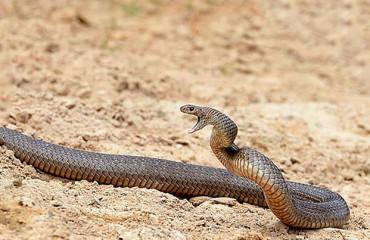 Королевская кобра, или гамадриад