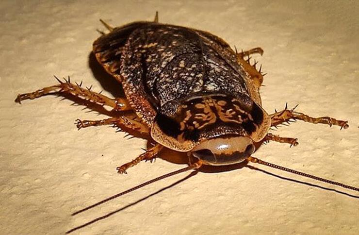 Мраморный таракан фото
