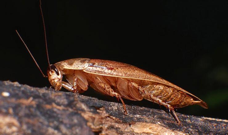 Картинка с мраморным тараканм