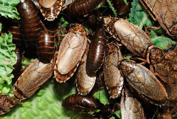 Фото мраморного таракана