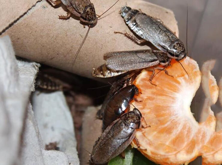 Мраморный таракан в домашних условиях