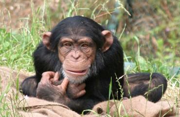 Как шимпанзе достают мед