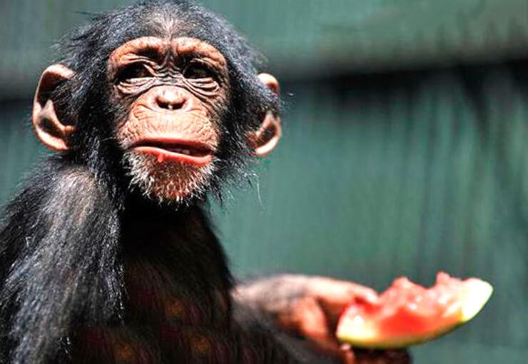 Фото обыкновенного шимпанзе