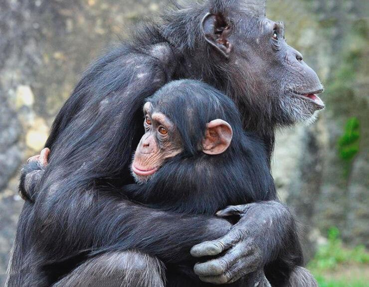 Обыкновенные шимпанзе фото