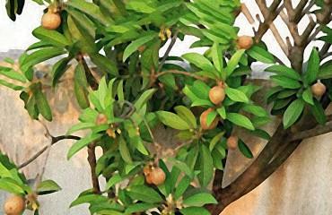 Саподилла, или масляное дерево