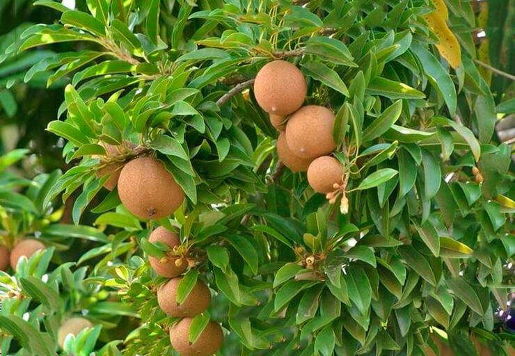 Масляное дерево фото