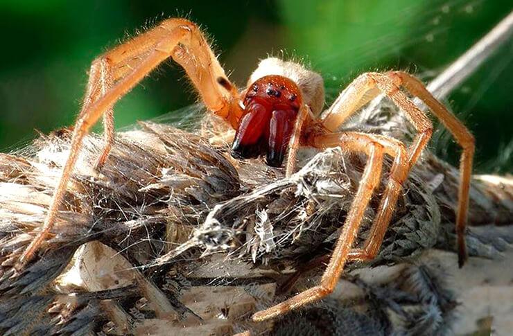 Желтосумный колющий паук фото