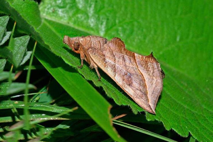 Фото бабочки-вампира калиптры василисниковой