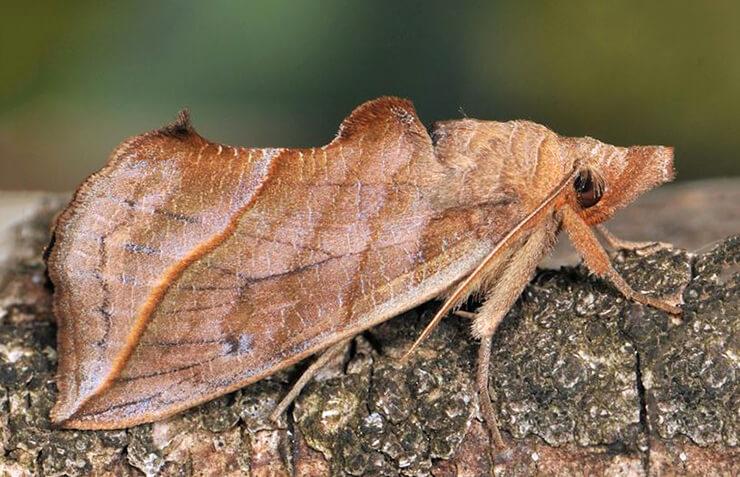 Картинка с бабочкой-вампиром калиптрой василисниковой