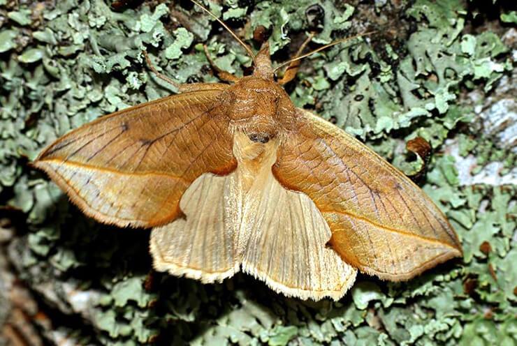 Бабочка-вампир калиптра василисниковая фото