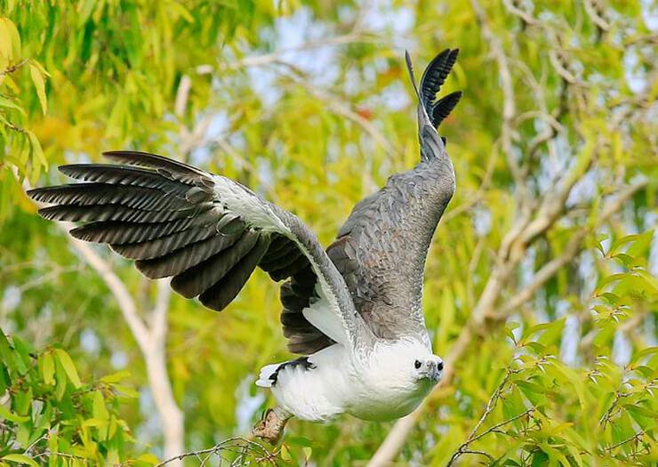 Фото Haliaeetus leucogaster