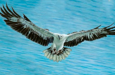 Белобрюхий орлан