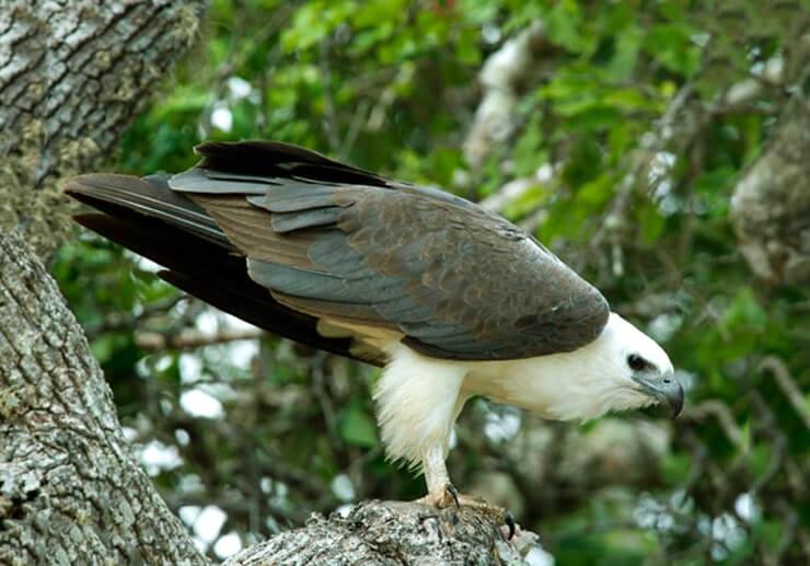 Фото орлана белобрюхого