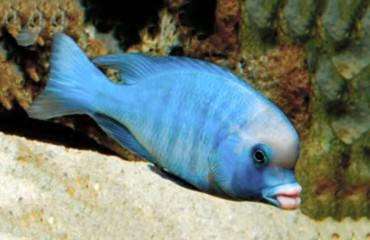 Аквариумная рыбка голубой дельфин