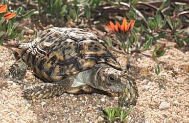 Самая маленькая черепаха в мире